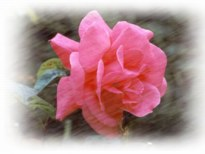 Tea Rose Scented Skin Care Products