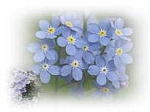 Forget Me Not Scented Products