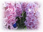 Hyacinth Scented Products