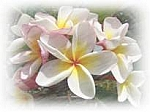 Plumeria Scented Products