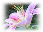 Stargazer Lily Scented Products