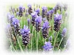 Lavender EO Scented Products