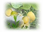 White Citrus Tea Scented Products
